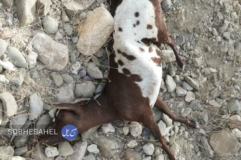 حمله یک قلاده یوزپلنگ به گله دامدار سندرکی