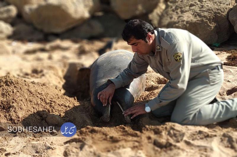 پیدا شدن لاشه یک نهنگ در ساحل کنارک